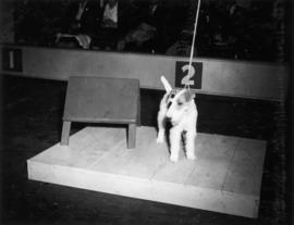Fox Terrier on platform being shown at exhibition all-breed dog show