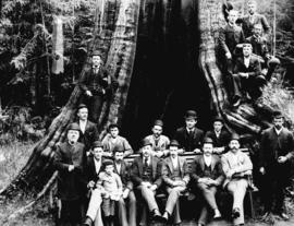 Cedar Tree 60 feet in Circumference, Stanley Park, Vancouver, B.C.