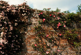 Rosa anemodes with Clematis montana (?), Sissinghurst
