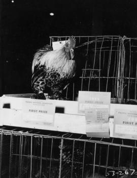 Prize-winning rooster in poultry competition