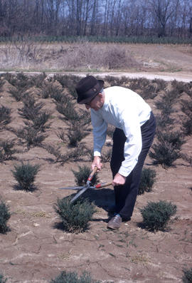 Propagation : shearing junipers