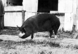 Dark-colored swine by pens