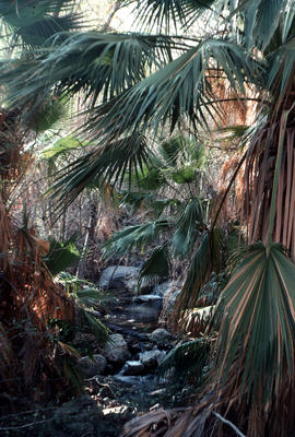 Landscape - general : Palm Canyon, Calif[ornia]