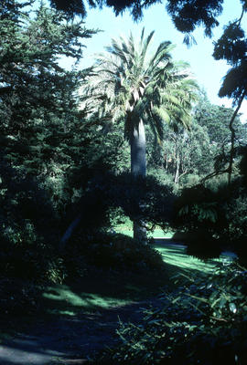 Jubaea chilensis at Golden Gate Park