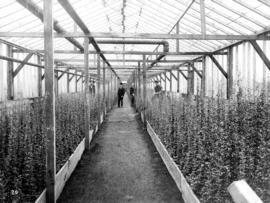 [Greenhouse interior, Brown Bros. Florists]