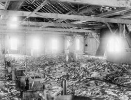 Man standing amidst salmon catch in cannery shed