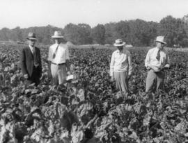 Beet seed operations: men standing in field of mature sugar beets