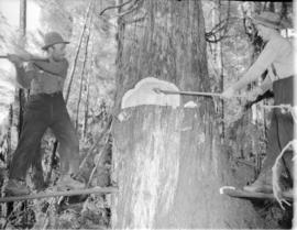 Tree felling [for] Pacific Mills [on the] Queen Charlotte Islands