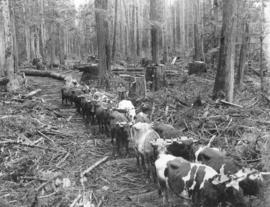 Ox Team Hauling Logs Royal City Mills Camp Near Vancouver, B.C.