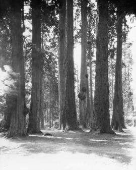 [The 'Seven Sisters' trees in Stanley Park]