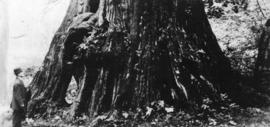 [Man standing next to trunk of large tree in] Stanley Park