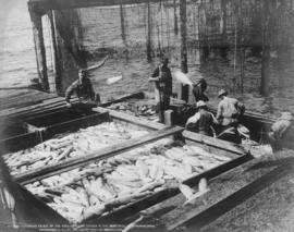 Men unloading salmon from scow at dockside