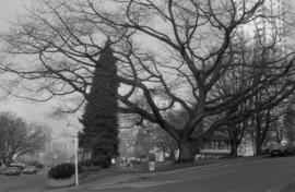 Alexandra Park - Red Oak (Cardero Street and Beach Avenue)
