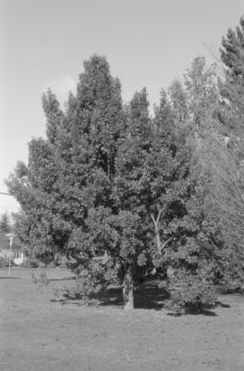 Quercus suber, Queen Elizabeth Park, near 37th Avenue and Cambie Street entrance (N.I.I.)