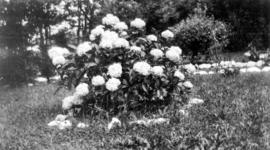 [Flowering bush at George J. Fowler's summer home]