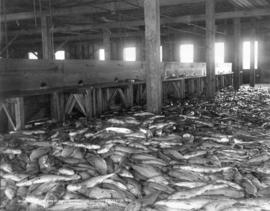 Pile of salmon at Scottish-Canadian Cannery