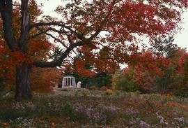 Gardens - Canada : Kingswood / [Kings]mere, Ontario, woodland clearing in autumn, sugar maple and...
