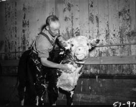 Man washing cow in Livestock building