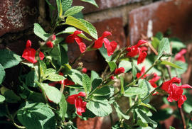 Salvia neurepia : Lady Ann C. [at] Broadleas Gardens