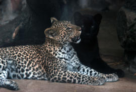Wildlife : panther, Chester Zoo