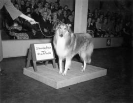 Champion Collie Bannockburn Perfection, owned by W.A. and Mrs. Mounfield