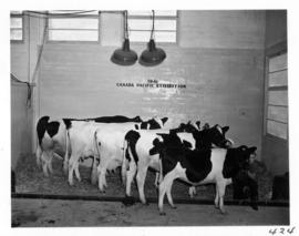 Group of cattle in Livestock building