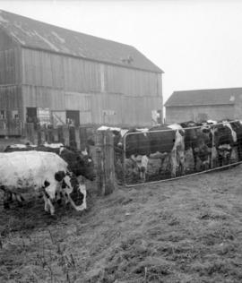 [Cows in pens at a dairy farm]