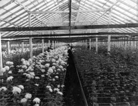 [Seedlings and blooms in chrysanthemum greenhouse, Brown Bros. Florists]