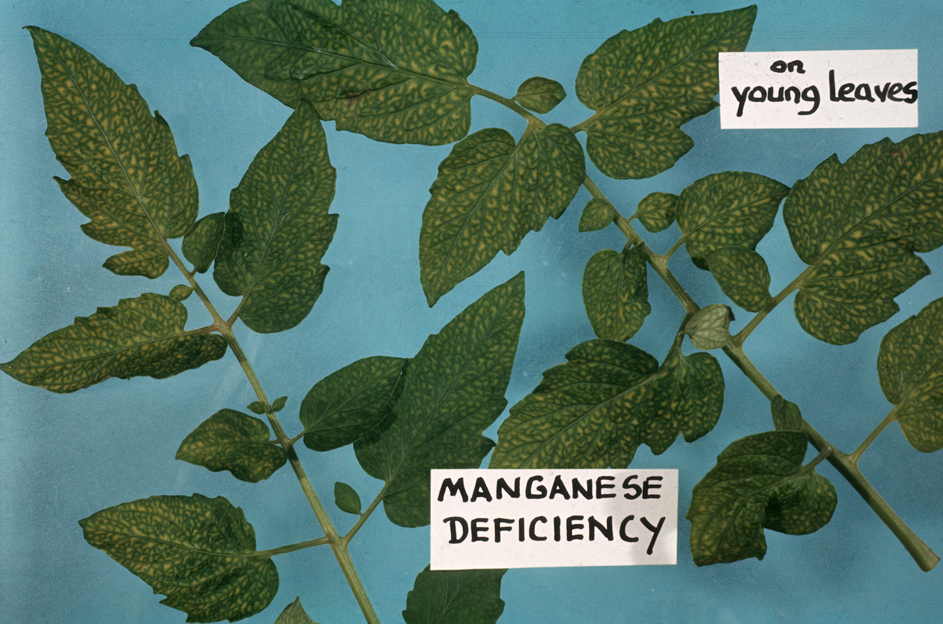Manganese Deficiency In Plants: Plant Pathology : Manganese Deficiency [on Young Leaves