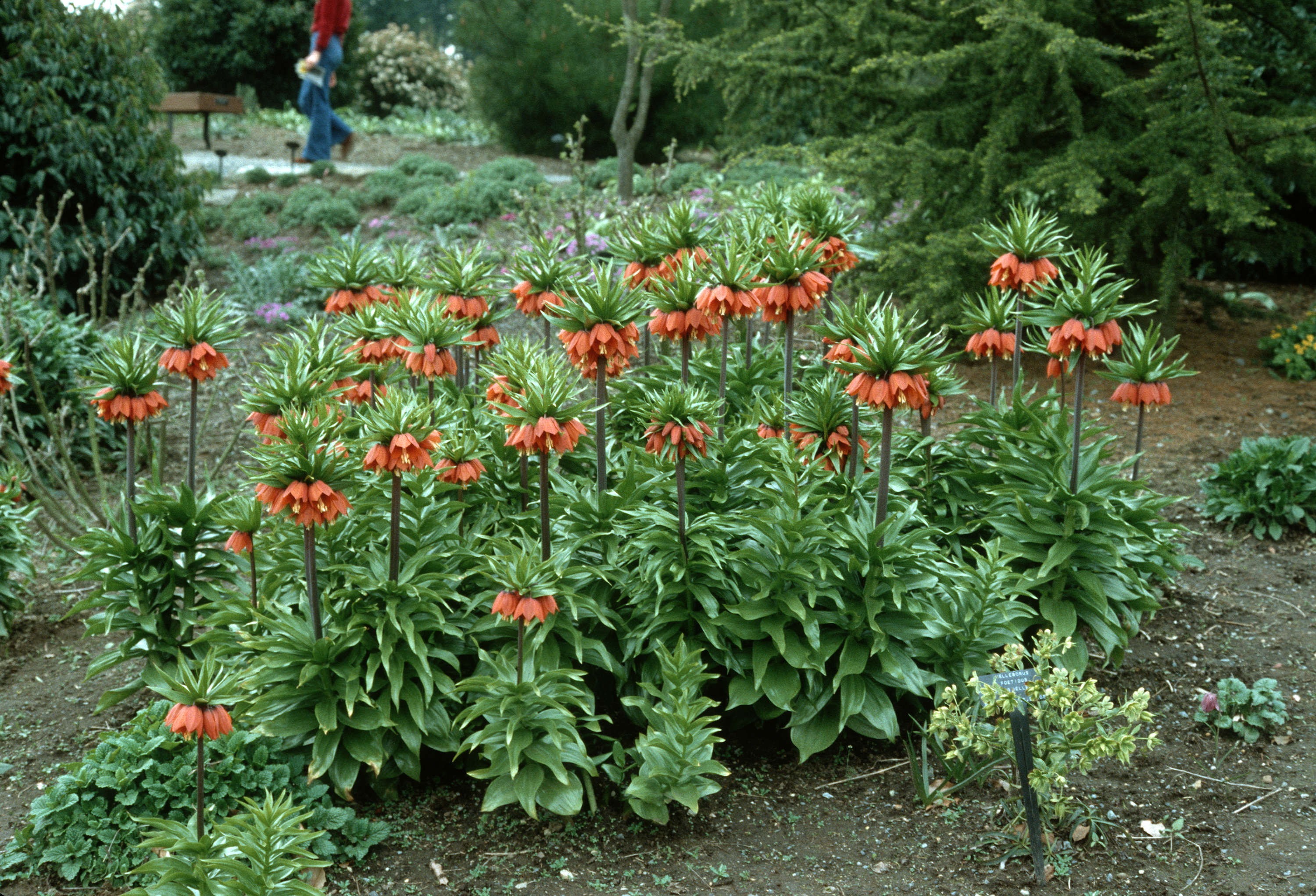 fritillaria imperialis city of vancouver archives. Black Bedroom Furniture Sets. Home Design Ideas
