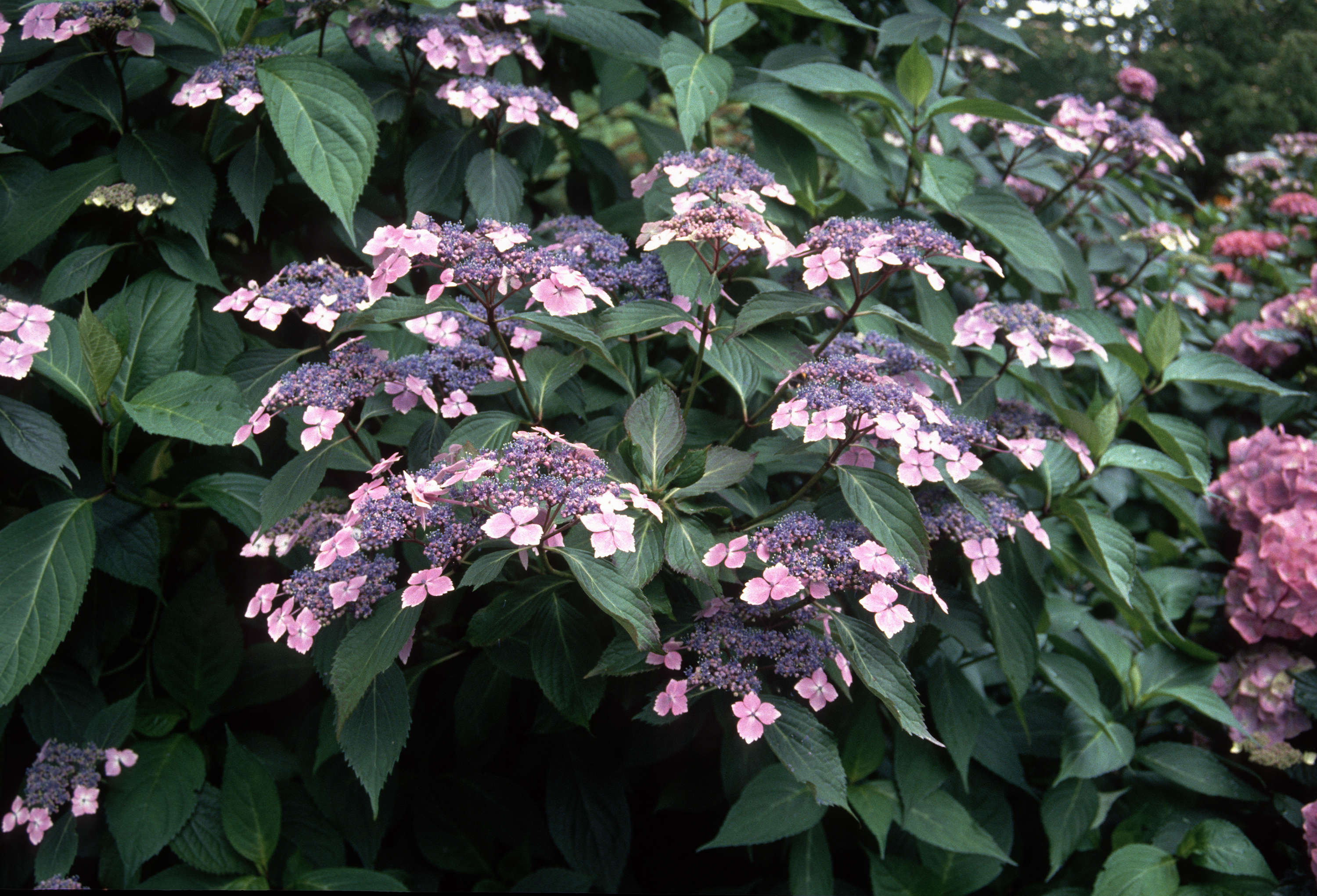 hydrangea macrophylla normalis city of vancouver archives. Black Bedroom Furniture Sets. Home Design Ideas