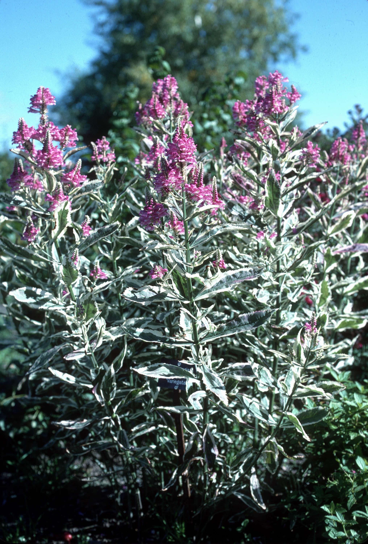 physostegia virginiana cv  variegata