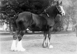Doune Lodge Bell Heather : [draft horse]