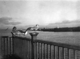 Gulls C.P.R. [Canadian Pacific Railway] dock