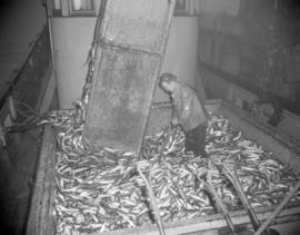 [Man standing in a bin of fish on a fishboat]
