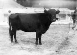 Dark-colored cattle