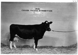 Dark-colored cow in Livestock building