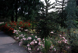 Landscape - bedding and borders : South hemisphere Gladiolus & Crocosmia