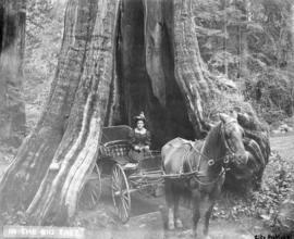 [Woman in a horse carriage] in the big tree [at Stanley Park]