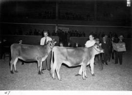 J.J. Grauer and Ernie Childs with cattle at livestock competition
