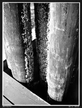Barnacles [on wood pilings]