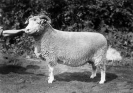 Dorset Horn ewe in sheep competition