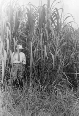 Mayaguez [standing in front of mature cane]