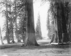 Big trees and drive, Stanley Park, Vancouver, B.C.