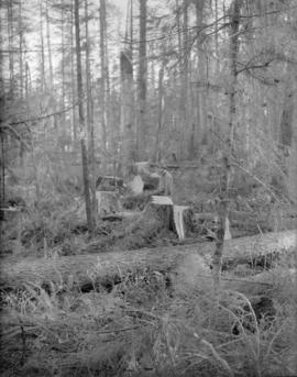 [Man standing among fallen trees in the] Queen Charlotte Islands