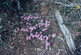 Phlox speciosa, Siskiyou Mountains