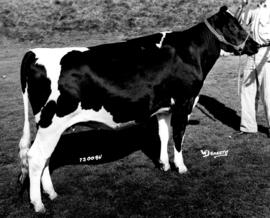 Frasea Nettie Dekol, owned by J. Grauer and sons : [black-and-white cow]
