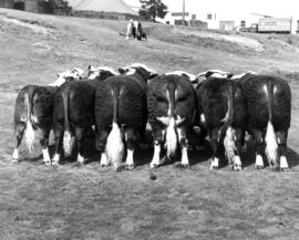 Line of Hereford cattle on P.N.E. grounds