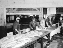 Cleaning halibut [in a] Prince Rupert cannery