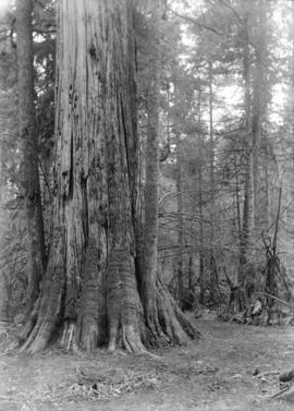[Large tree in Stanley Park]